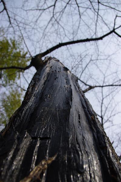 進撃の巨木